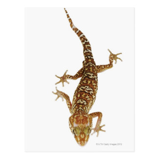 Madagascar ground gecko (Paroedura pictus) on Postcard