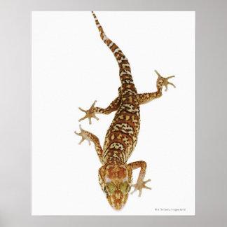 Madagascar ground gecko (Paroedura pictus) on Poster
