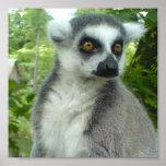 Madagascar Lemur Print