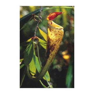 Madagascar Pitcher Plant Stretched Canvas Print