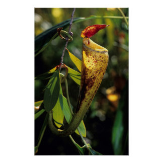 Madagascar Pitcher Plant Poster