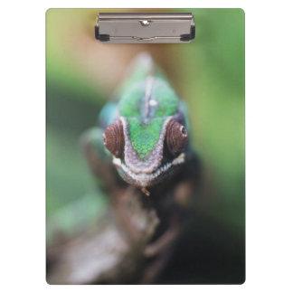 Madagascar, Red bar Panther Chameleon Clipboard