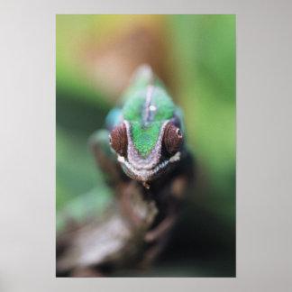 Madagascar, Red bar Panther Chameleon Poster