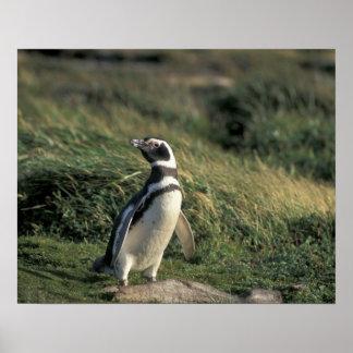 Magellanic Penguin Spheniscus magellanicus Posters