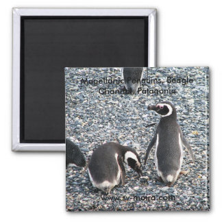 Magellanic Penguins, Beagle Channel, Patagonia Magnet