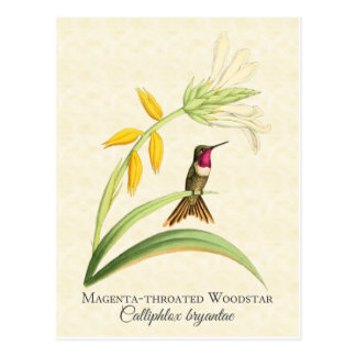 Magenta Throated Hummingbird Art Postcard