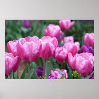 Magenta Tulip field Poster