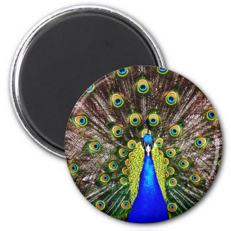 Magestic Peacock Magnet