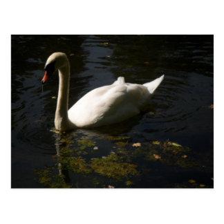 Magestic Swan. Postcard