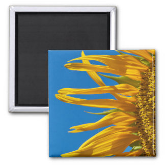 Magnet:Beautiful sunflowers in front of a blue sky Magnet