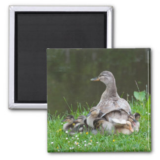 Magnet: Brooding Mother Mallard with Ducklings Square Magnet