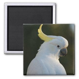 Magnet cockatoo