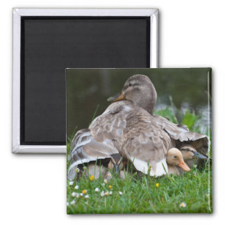 Magnet: Mama Mallard and Ducklings Square Magnet