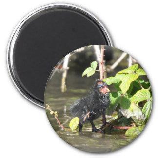 Magnet: Moorhen Chick Magnet