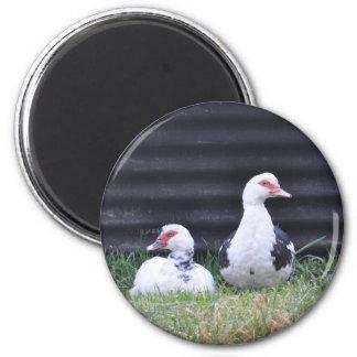Magnet: Muscovy Ducks 6 Cm Round Magnet