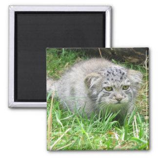 Magnet - Pallas's cat