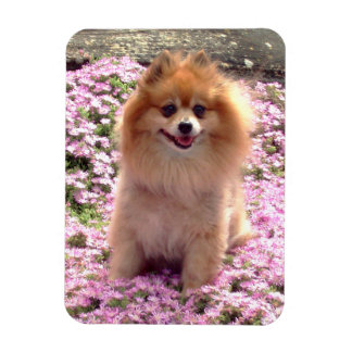 Magnet | Pomeranian with Pink Flowers