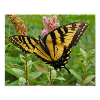 Magnificant Feasting Butterfly Poster