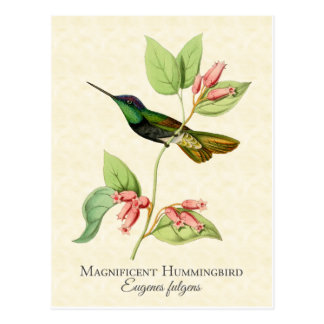 Magnificent Hummingbird Vintage Art Postcard
