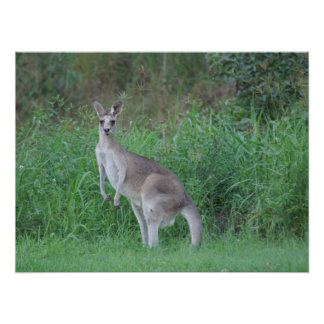 Magnificent  Kangaroo Poster