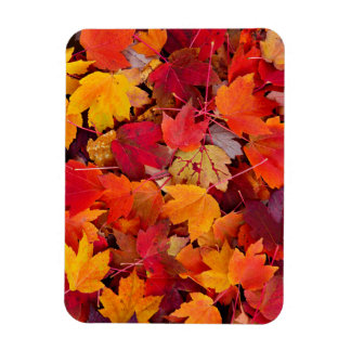 Magnificent Maple Leaves Magnet