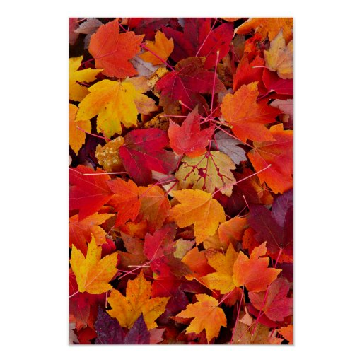 Magnificent Maple Leaves Print
