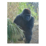Magnificent Mountain Gorilla Post Cards