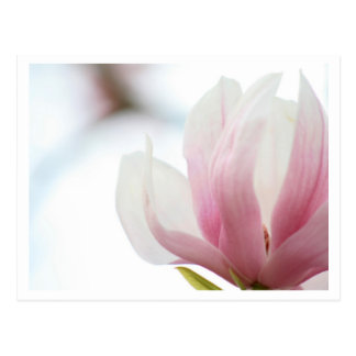 Magnolia Bloom Postcard