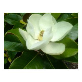 Magnolia Bloom Savannah Georgia Postcard