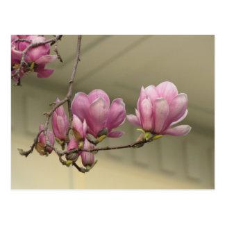 Magnolia Blooms Postcard