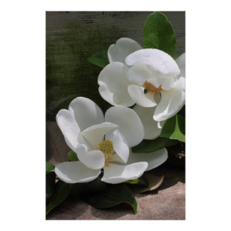Magnolia Blooms Poster -24x36 -other sizes also