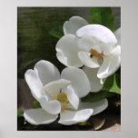 Magnolia Blooms Print