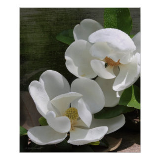 Magnolia Blooms Print -20x24 -other sizes also