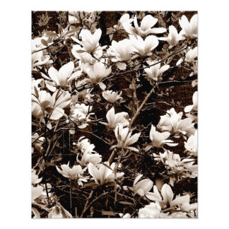 'Magnolia Blossoms' Photographic Print