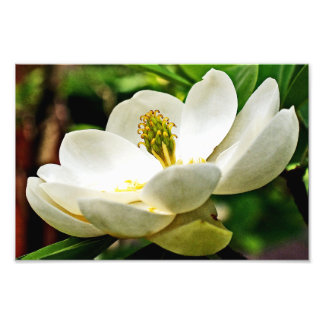 Magnolia Flower Close Up Photo Print