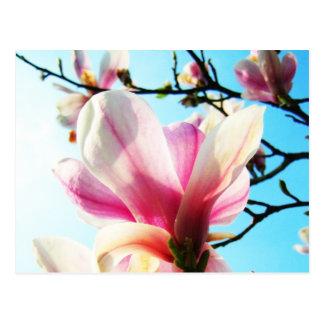 Magnolia flowers - Postcard