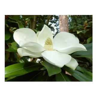 Magnolia Grandiflora Postcard