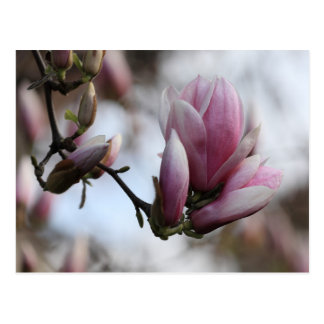 magnolia in bloom postcard