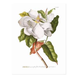 Magnolia. Postcard