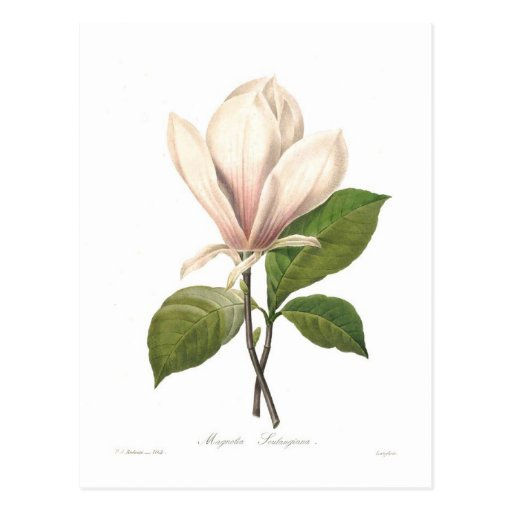Magnolia soulangiana post card
