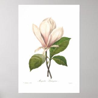 Magnolia soulangiana print