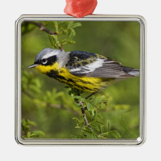 Magnolia Warbler Dendroica magnolia) adult, 2 Silver-Colored Square Decoration