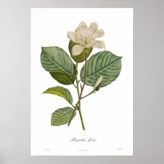 Magnolia yulan poster