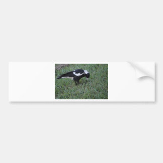 MAGPIE GETTING A WORM RURAL QUEENSLAND AUSTRALIA BUMPER STICKER