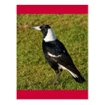 Magpie Post Card