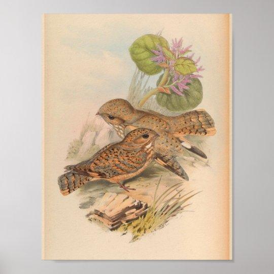 Mahratta Sykes Nightjar Vintage Bird Art Print