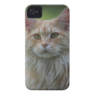Main coon cat iPhone 4 cover