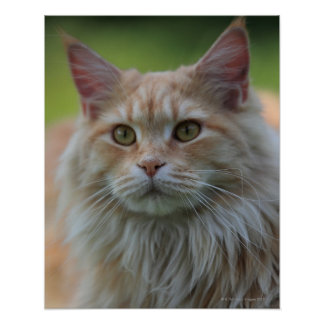 Main coon cat poster
