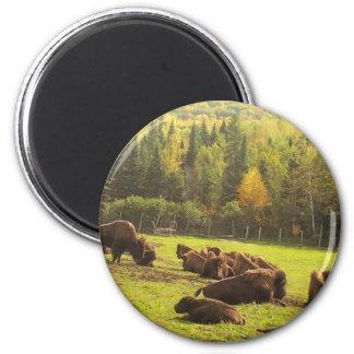 Maine Buffalo Magnet