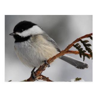 Maine Chickadee Postcard